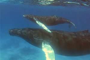 whale watching - Ocean Vibes - things To do - Turks & Caicos Islands