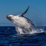Turks and Caicos Whale Watching